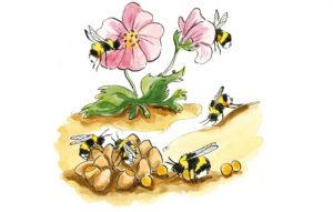 Late summer bumblebee lifecycle illustration