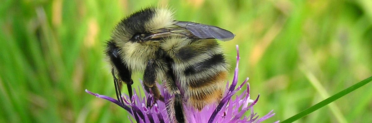 shrill carder bee project