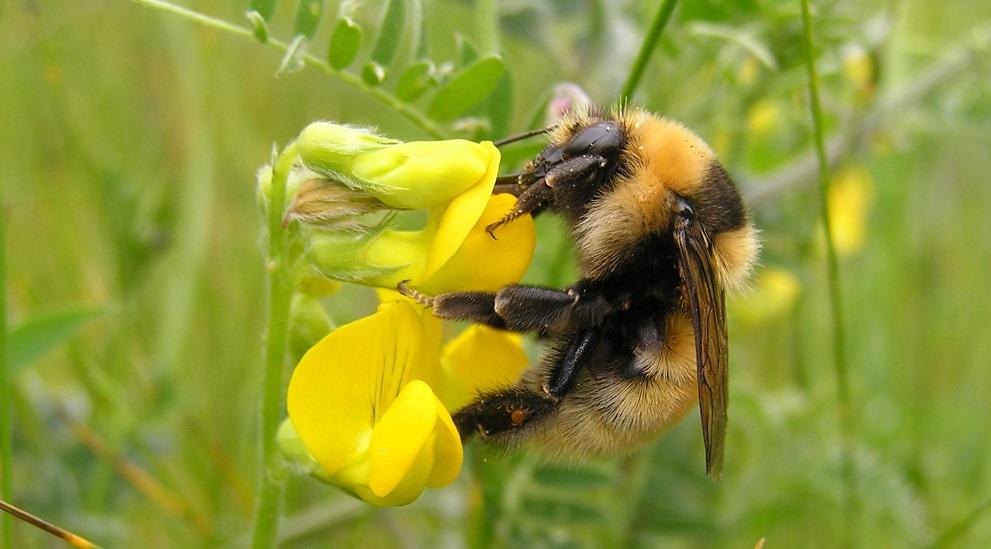 Great yellow bumblebee Bumblebee Conservation Trust