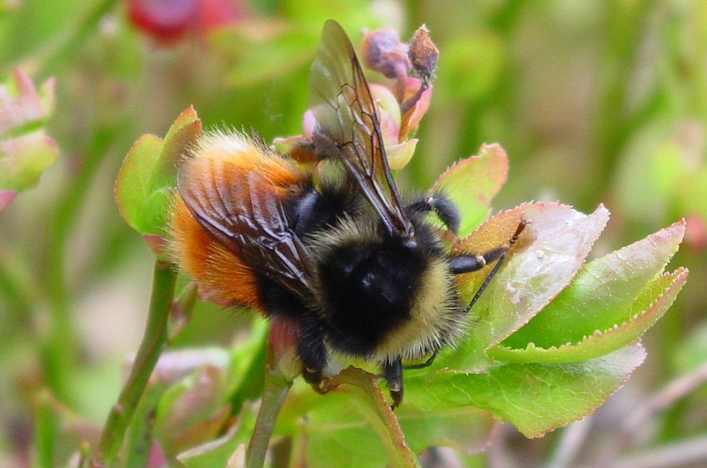 bilberry bumblebee bumblebee conservation trust