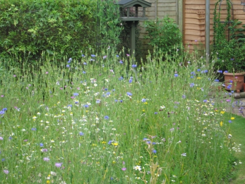 The numbers of bees in the garden has also increased dramatically. They seem particularly attracted to the cornflowers, scabious and bird's foot trefoil.