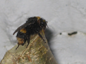 Best What are bees bumble