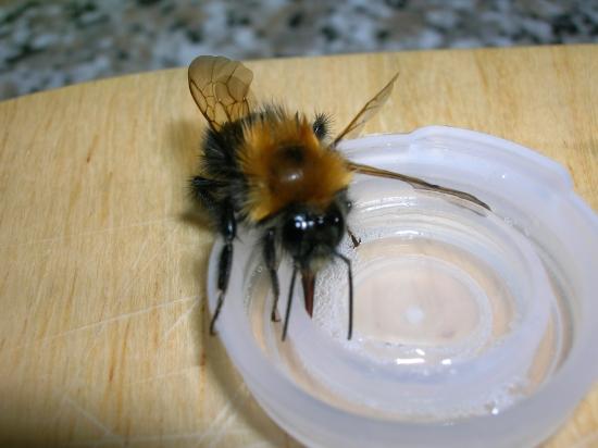 Winter-active bumblebees - Bumblebee Conservation Trust