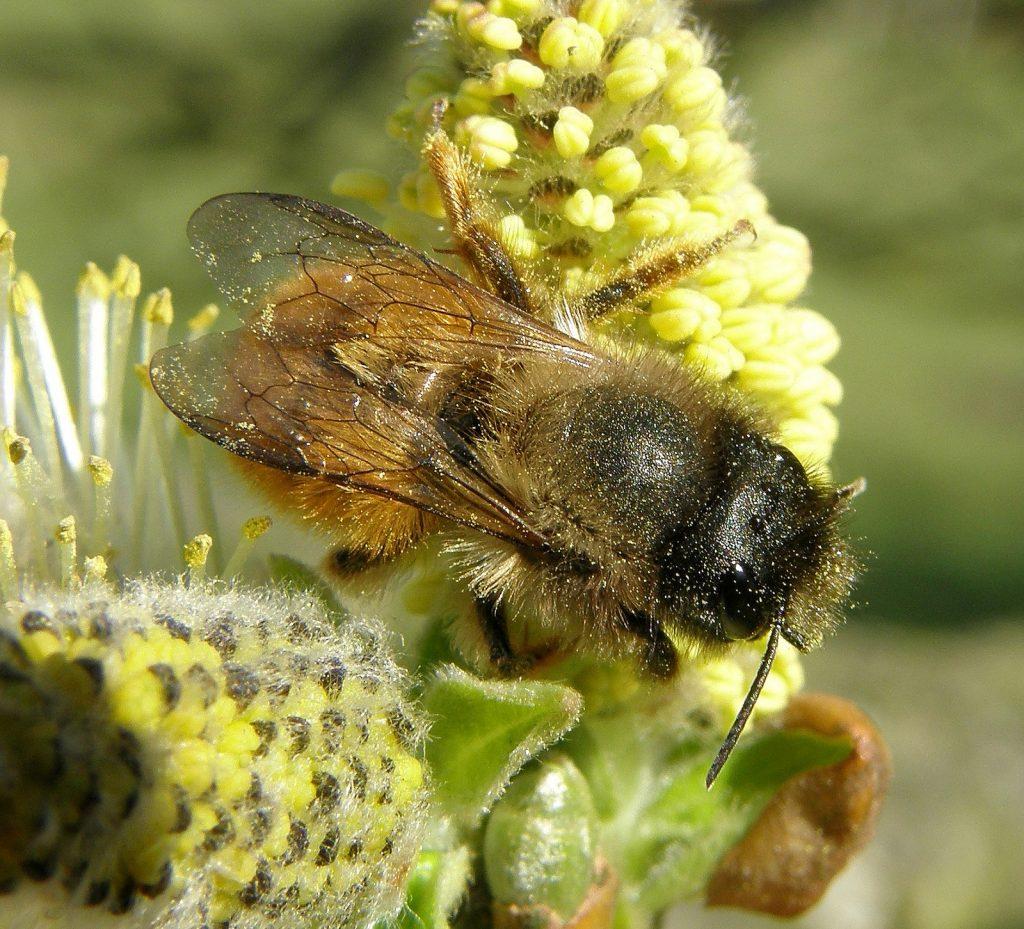 Red mason bee bumblebee conservation trust red mason bee osmia bicornis freerunsca Gallery