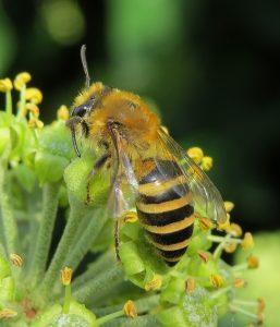 Female Ivy mining bee